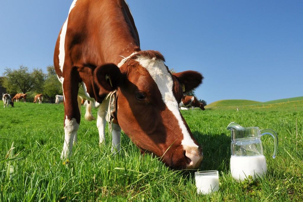 vache de lait